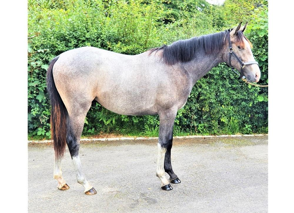 Photo of 2020 Colt by Sir Percy (GB) ex Outback Princess (GB)