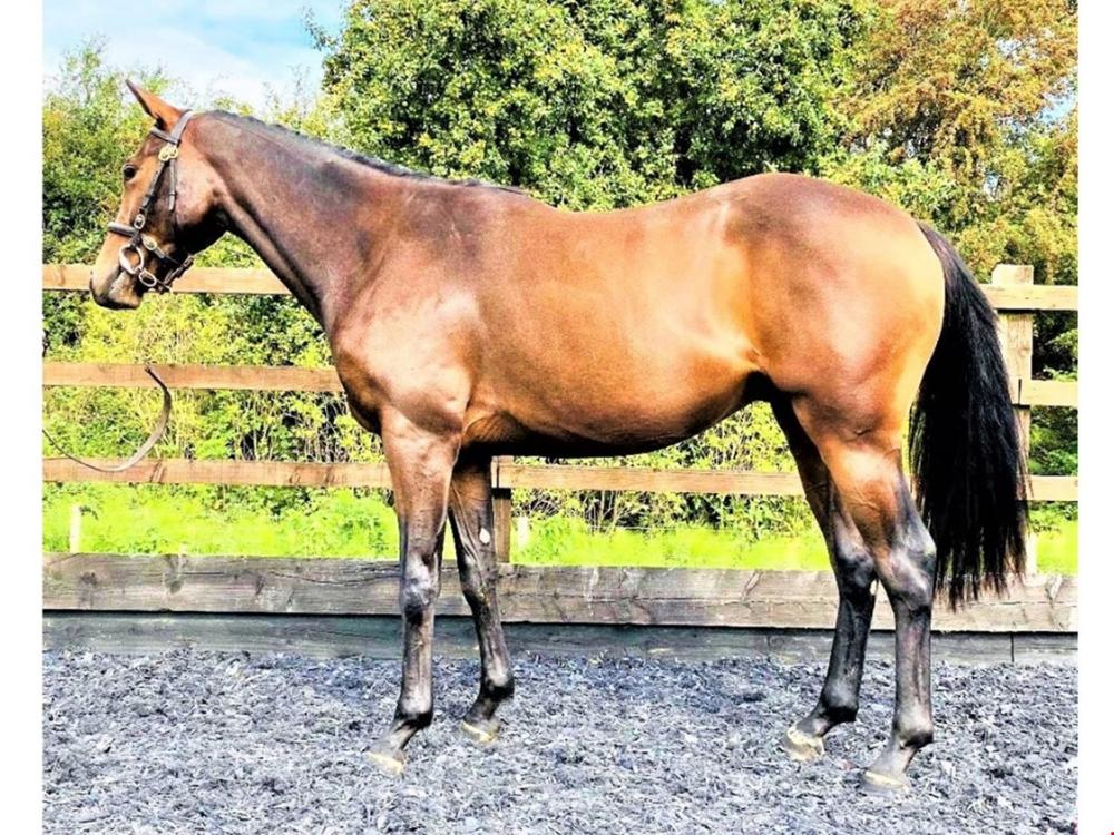Photo of 2018 Gelding by Native Ruler (GB) ex Scots Brook Terror (GB)