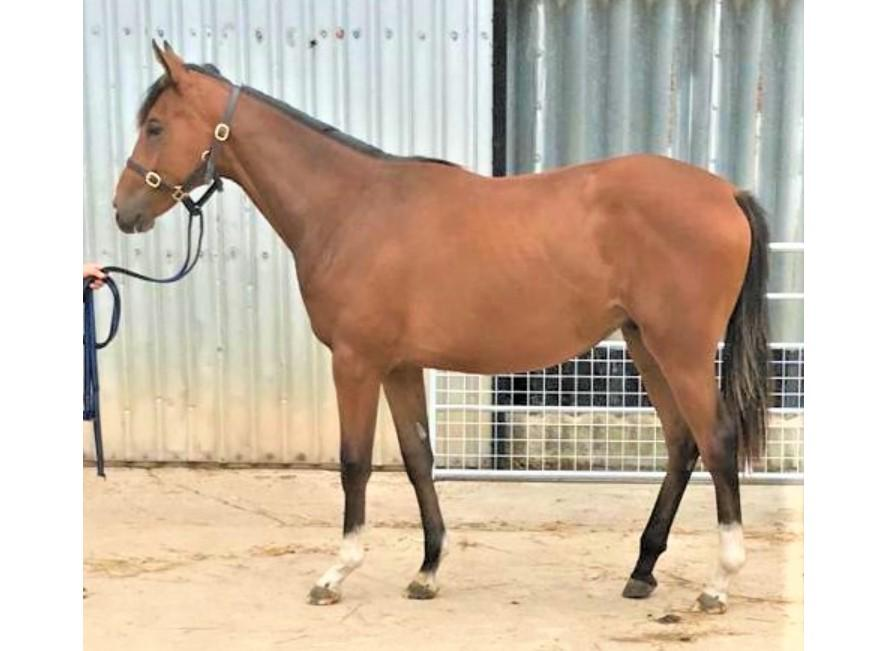 Photo of 2019 Colt by Saddler's Rock (Ire) ex Maori Legend (GB)