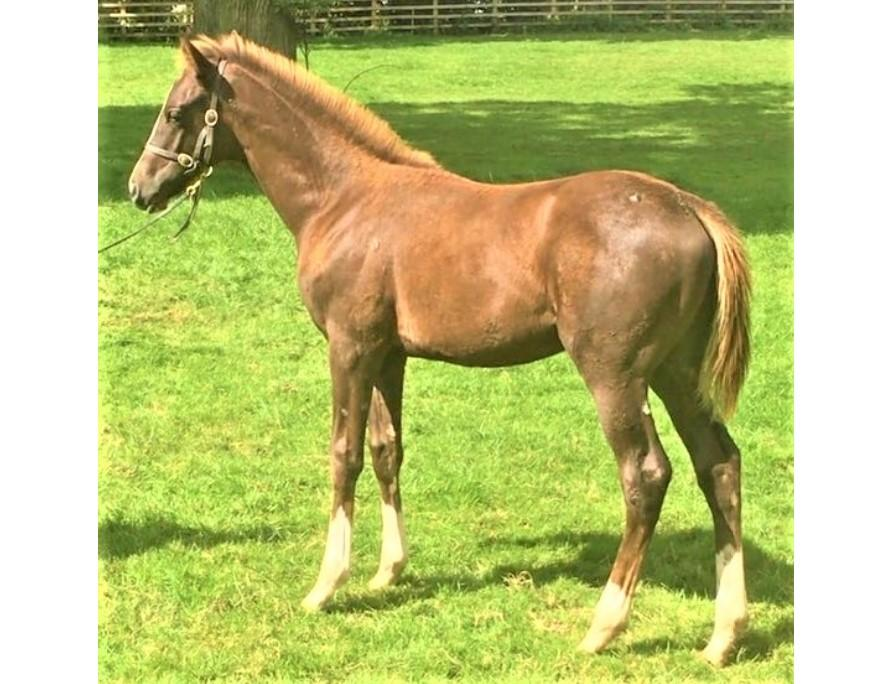 Photo of 2020 Colt by Saddler's Rock (Ire) ex Lady Blade (Ire)