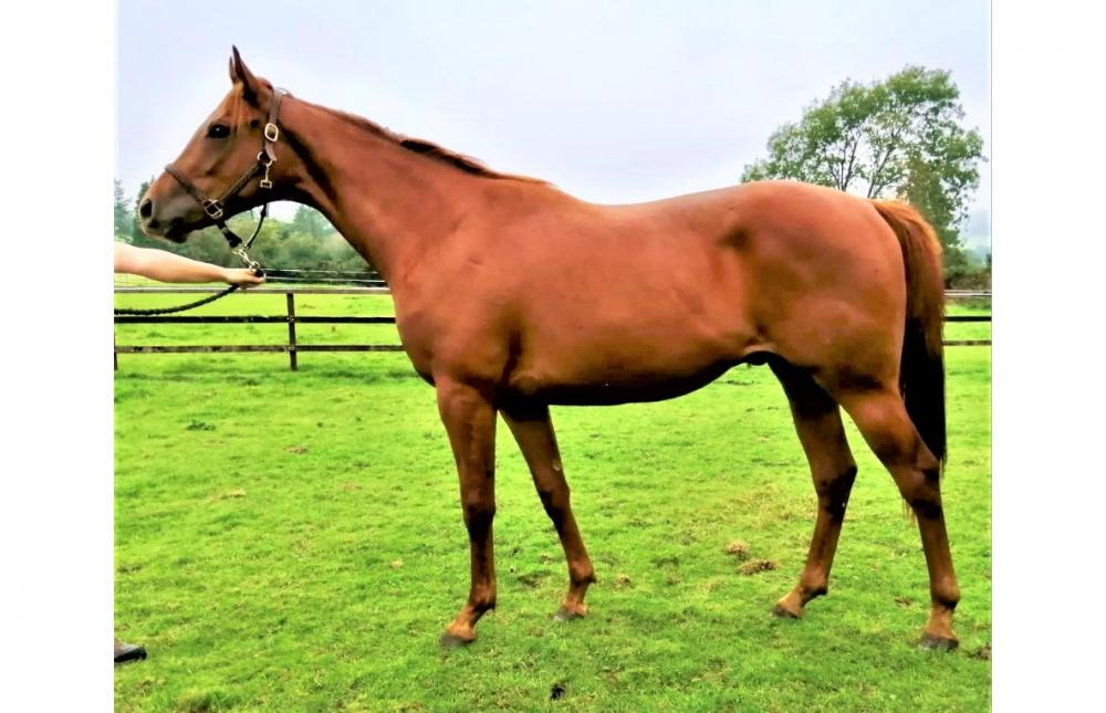 Photo of 2018 Gelding by Shirocco (Ger) ex Smiles Awake You (Ire)